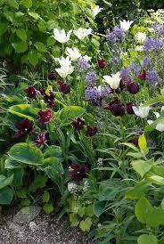 buy parrot tulip bulbs tulipa black parrot delivery by waitrose