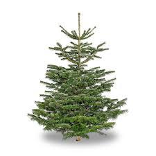 Nordmann Fir Christmas Trees Wholesale by Nordmann Fir 9 Foot Peninsula Stone Howth Stone For Patios