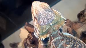 Bearded Dragon Shedding In Patches by Yellow Fungus Please Help I U0027m Super Worried U2022 Bearded Dragon Org