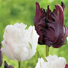 parrot tulip flower bulbs from longfield gardens
