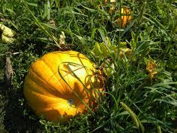 Fertilizer For Pumpkins Uk by The Northern New York Gardener Fall Harvests U0026 Pumpkins