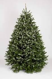 Nordmann Fir Christmas Tree Seedlings by Nordmann Fir Christmas Trees Buy Wholesale From Holiday Tree Farms