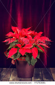 Red Poinsettia Euphorbia Pulcherrima Christmas Star Decorated With Snow In A