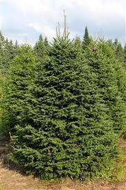 What Is The Best Christmas Tree Variety by 7 Best Christmas Tree Varieties Images On Pinterest Farming