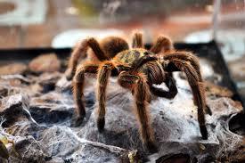 Do Tarantulas Shed Their Fangs by 7 Most Venomous U0026 Dangerous Spiders Allrefer