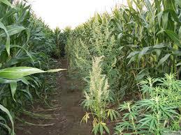 fin de floraison cannabis exterieur les jardins à commencement tardif graines de