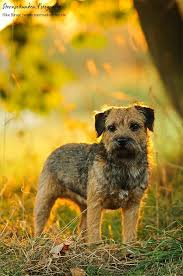 Do Border Terriers Shed by Best 25 Border Terrier Puppy Ideas On Pinterest Border Terrier