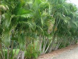 golden palm in pots best 25 bamboo palm ideas on palm house plants air