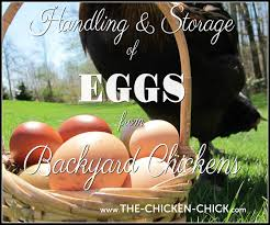 The Chicken Chick®: Handling And Storage Of Fresh Eggs From ... Best Backyard Chickens For Eggs Large And Beautiful Photos 4266 Best Backyard Chickens Care Health Images On Pinterest Raising Dummies Modern Farmer Eggs Part 1 Getting Baby Chicks For 1101 Emma Chicken Breeds And Meat With 15 Popular Of Archives Coffee In The Cornfields Balancing Mrs Simply Southern The Chick Handling Storage Of Fresh From Laying Brown 5 Hens Your