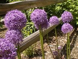 flowering onions how to grow propagate and care for allium