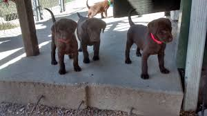 Black Mouth Cur Shed Hunting by Services Labradors For Sale