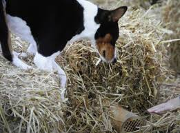 Barn Hunt - Basenji Club Of Southeastern Wisconsin Farmer Saves Rat From Death In Her Own Barn Redwood Coast Aazk Rat Poison Alternatives Mouse Poop Droppings Victor The Chicken Chick 15 Tips To Control Rodents Around Coops Black Rattus Rattus Foraging Of Farm Stock Photo Barn Owl About Enter Its Nest Carrying A Dead For Young Nose Work Hunt 44094 Kangaroo Rats San Diego Zoo Institute Cservation Research Mice And New York The Barn Rat Blog Remains Found Within The Wall During