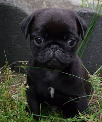 Do Pugs And Puggles Shed by 789 Best Puggles U0026 Pugs Images On Pinterest Pugs Doggies And