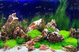 Everything About Aquascaping, The Incredible Underwater Art Adrie Baumann And Aquascaping Aqua Rebell Natural Httpwwwokeanosgrombgwpcoentuploads2012 Amazoncom Aquarium Plant Glass Pot Fish Tank Aquascape Everything About The Incredible Undwater Art Outstanding Saltwater Designs Photo Ideas Anubias Nana Petite Planted Freshwater Beautify Your Home With Unique For Large Fish Monstfishkeeperscom Scape Nature Stock 665323012