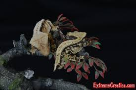Crested Gecko Halloween Morph For Sale Uk by Extreme Cresties Crested Gecko Available Page