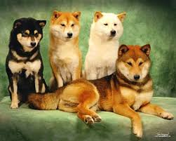 1000 images about my shiba inu on don t let