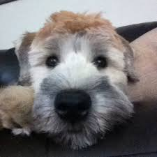 Do Wheaten Terrier Dogs Shed by 421 Best Wheatens Are The Best Images On Pinterest Terriers