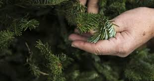 Longest Lasting Christmas Tree by Christmas Tree Buying Tips For Louisville