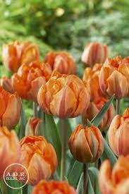 tulipa early orange princess tulip from adr bulbs