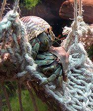 Halloween Hermit Crab Care by 37 Best Halloween Crabs Crab Care Images On Pinterest Hermit