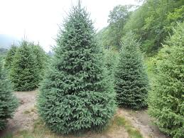 Leyland Cypress Christmas Trees Louisiana by Black Hill Spruce Black Hills Spruce We Have 6 In The Yard I
