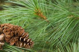 Christmas Tree Sapling Care by Tips For Planting White Pines Care Of White Pine Trees In The