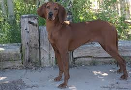 Do Rhodesian Ridgebacks Drool by Redbone Coonhound Info Temperament Training Puppies Pictures
