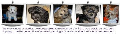 Morkies Do They Shed by What Is A Morkie U2013 About Morkies