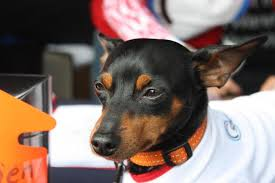 how much does a miniature pinscher dog shed