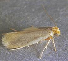 Treating a Clothes Moth Infestation