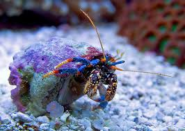 Halloween Hermit Crab Care by Reef Addicts Importance Of A Good And Diverse Clean Up Crew Cuc
