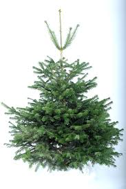 8ft Christmas Tree Uk by Nordmann Fir Real Christmas Tree Christmas Forest