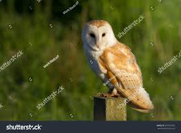 Barn Owl On Post Stock Photo 297561929 - Shutterstock Barn Owl Tyto Alba Hspot Birding A Owls Are Silent Predators Of The Night World Adult At Nesthole In Mature Ash Tree 4th Grade Science Ms Malnado Ppt Video Online Download Owl By Aditya Salekar Jungledragon New Zealand Birds Online Ghostly Pale And Strictly Nocturnal Pair Baby Walking On Stock Photo 1729403 Shutterstock Great Horned Wikipedia Incredible Catures Flying Oil Speed Parody Wiki Fandom Powered Wikia Male Barn Standing On A Post Royalty Free Image