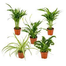 mischung aus 5 luftreinigenden zimmerpflanzen chlorophytum 2x asplenium spathiphyllum nephrolepis 12 cm 35 cm
