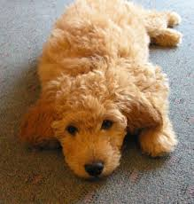 Do Miniature Aussiedoodle Shed by About Goldendoodles Aussiedoodle And Labradoodle Puppies Best