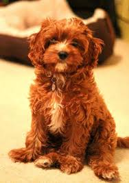 do cavapoos shed a lot cavapoo breed breed info pictures more