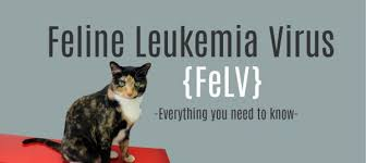 cisapride for cats leukemia in cats felv expectancy symptoms diagnosis