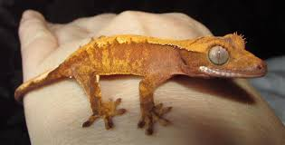 Crested Gecko Shedding Info by Red Extreme Harli Baby Crested Geckos For Sale Gravesend Kent