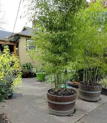 planting bamboo in a pot bamboo in pots bamboo plants perth bamboo landscape plants