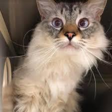 Siamese Cats For Adoption In Castle Rock Colorado PetCurious