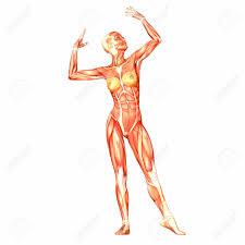 interieur corps humain femme femme anatomie du corps humain banque d images vecteurs et