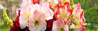amaryllis bulbs amaryllis plants amaryllis flowers