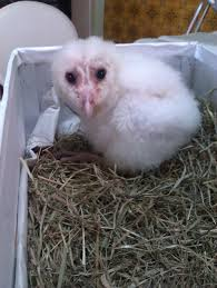 Barn Owls – How To Feed And Keep An Owlet – Maya Catching Prey In The Dark Barn Owl Tyto Alba Owls Make A Comeback Iowa The Gazette Of Australia Australian Geographic How To Build Or Buy Nest Box Company Best 25 Ideas On Pinterest Beautiful Owl Owls And Modern Farmer Absolutely Stunning Barn Drawing From Artist Vanessa Foley Audubon California Starr Ranch Live Webcams Red By Thef0xdeviantartcom Deviantart Tattoo Scvnewscom Opinioncommentary Beautifully Adapted 9 Best Images A Smile Animal Fun