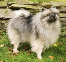 Dogs That Dont Shed Keeshond by A Wonderful List Of Dog Breeds That Are Easy To Train