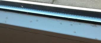 viele kleine fliegen auf balkonseite in wohnung insekten