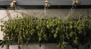 Pot Plants For The Bathroom by Marijuana The Truth About Growing Your Own Pot U2013 The Denver Post