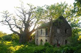 An African Baobab Tree By A Ruin At Montravers Estate Former Plantation That Produced Nevis West IndiesBaobab