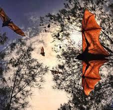 100 Flying Cloud Camp Kooloonbung Creek Fox Management Plan Port Macquarie