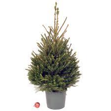 3ft Christmas Tree Uk by Pot Grown Fraser Fir Living Christmas Tree Christmas Forest