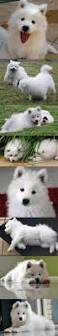 Do Samoyeds Shed All The Time by The 25 Best Hypoallergenic Puppies Ideas On Pinterest Fluffy